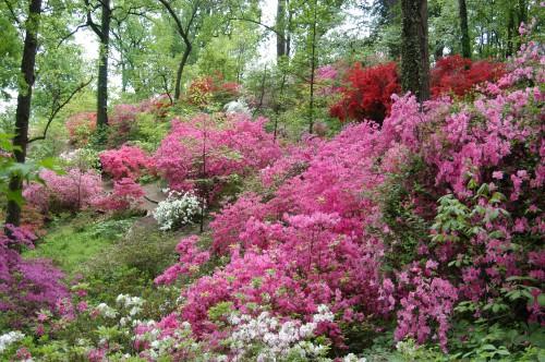 Popville U S National Arboretum S Azaleas Saved For Now