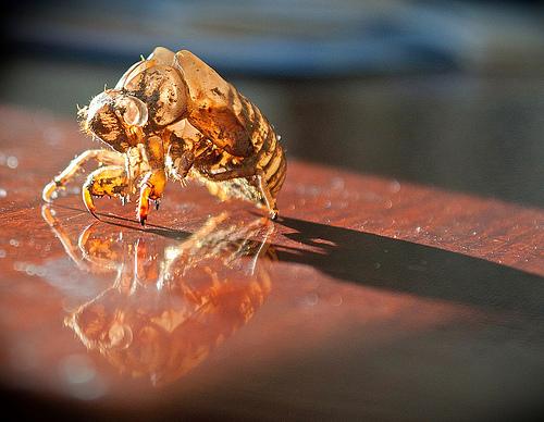 cicada_cycle_dc