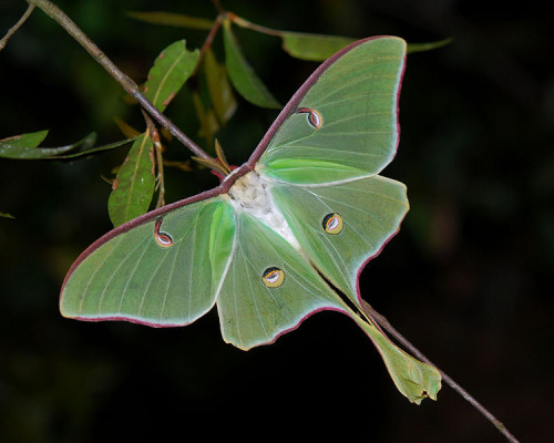 Actias_luna_in_Florida