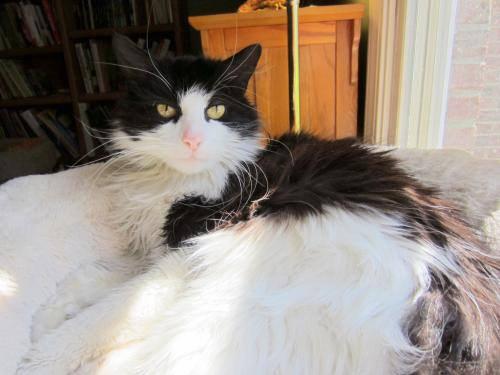 Captain - Home Alone Feline Rescue