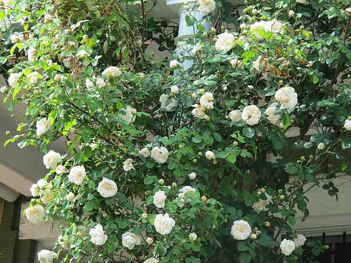 blooms_in_bloomingdale