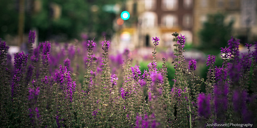 cleveland_park_flower_thief