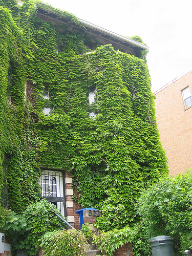 3220_13th_st_nw_columbia_heights_vines