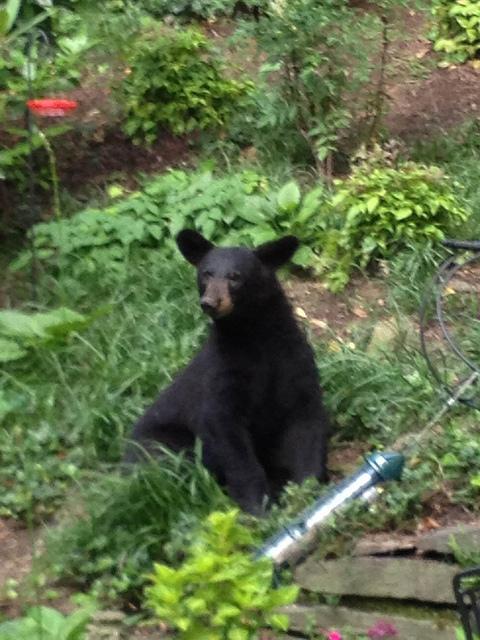 bear_dc