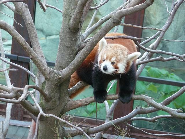 caption_contest_popville_red_panda