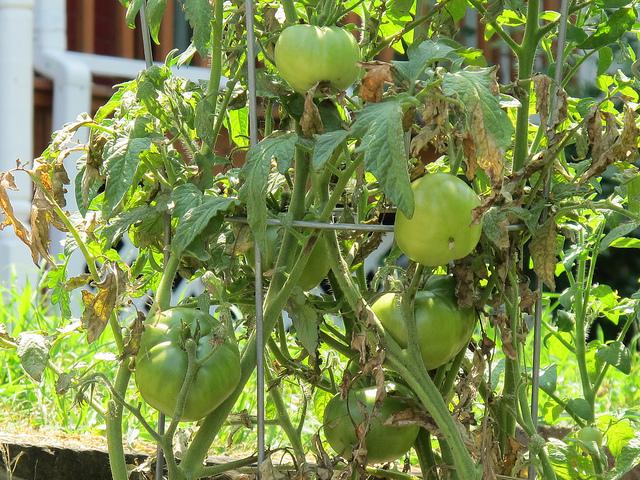 garden_tomatoes