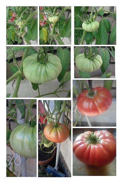 tomato_contest_popville