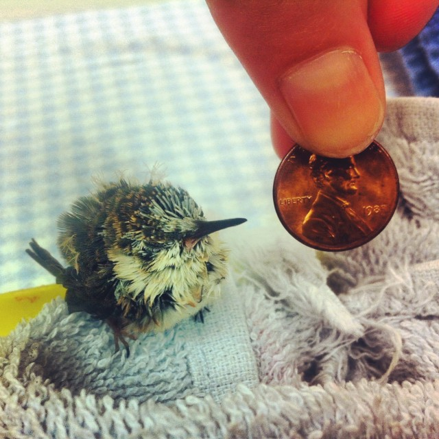 Baby hummingbird photo