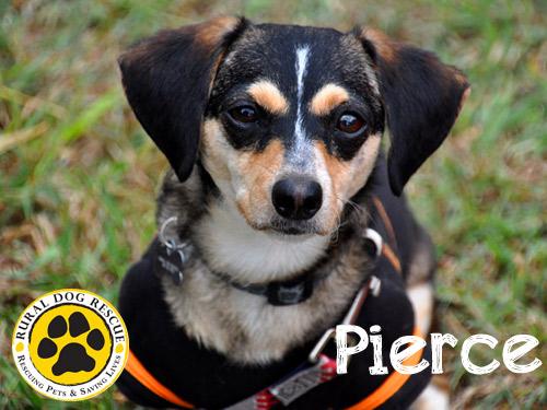 Pierce - Rural Dog Rescue