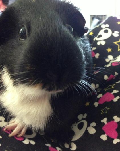 Sally.Guinea.Pig