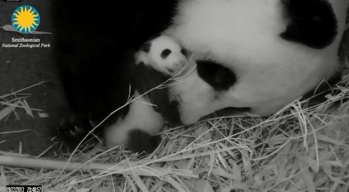 baby_panda_dc