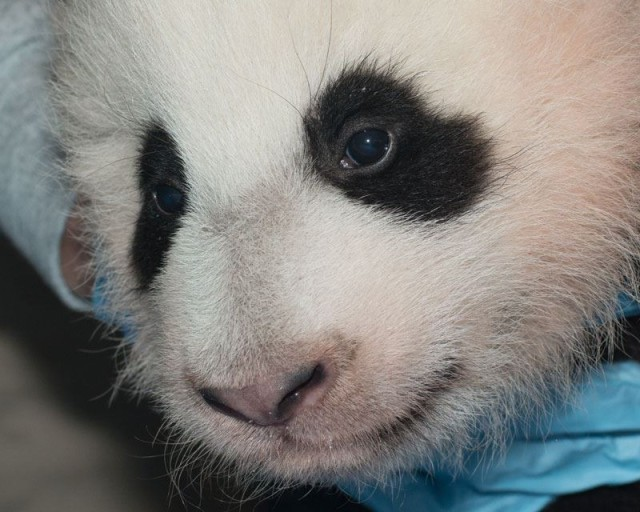 baby_panda_naming_dc_zoo