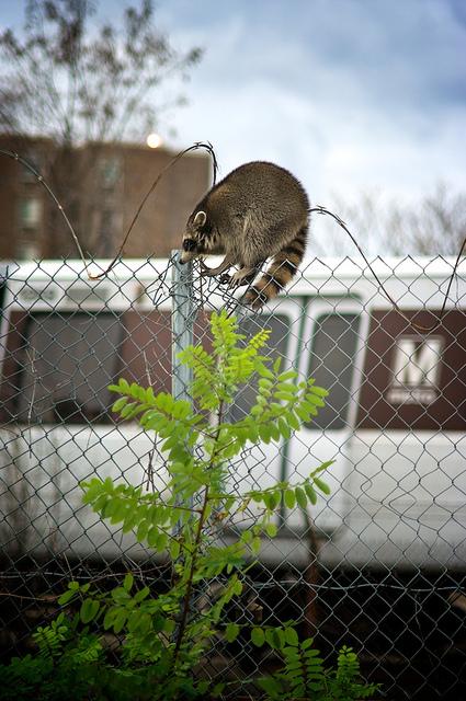 rabid_raccoon_shot_takoma_park