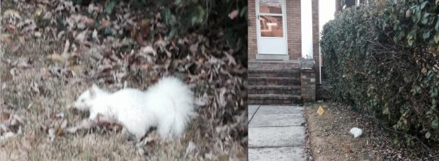 albino_squirrel