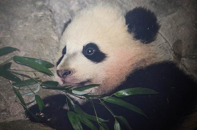 bao_bao_panda_cub