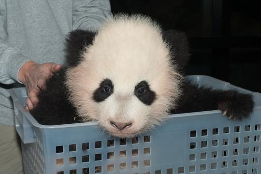 panda_bao_bao