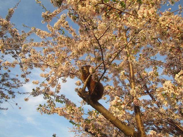 Beaver in a cherry blossom tree popville - Romanian cherry tree varieties ...