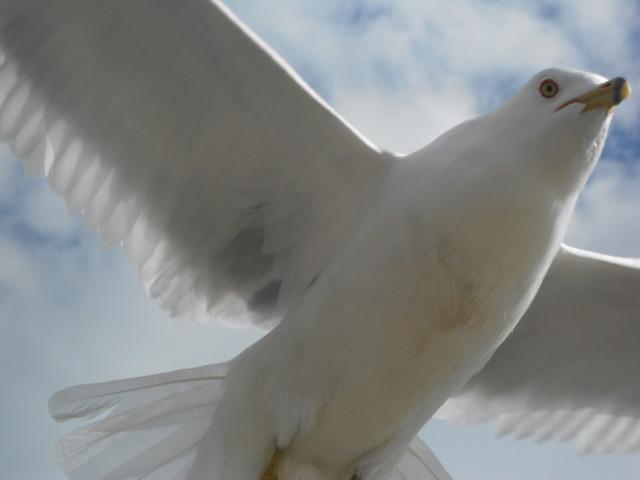 Seagull_Gtown_closeup
