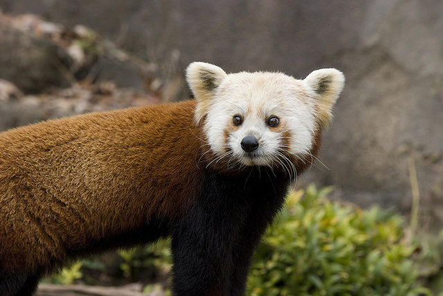 Red Panda Dies_shama