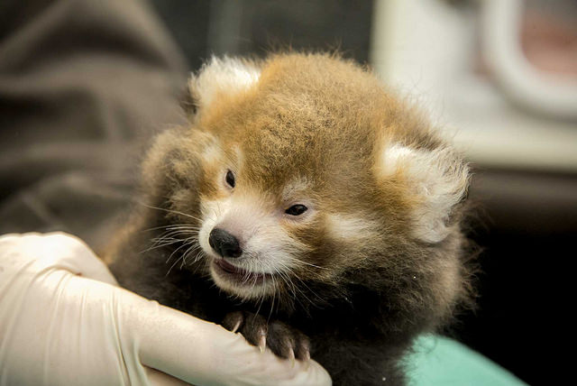 baby_red_panda_national_zoo
