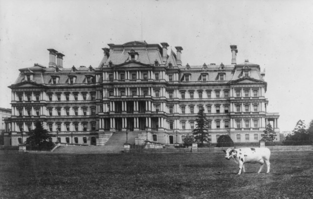 Taft's cow Pauline Wayne in front of State, War & Navy Building c 1909 3a13795u