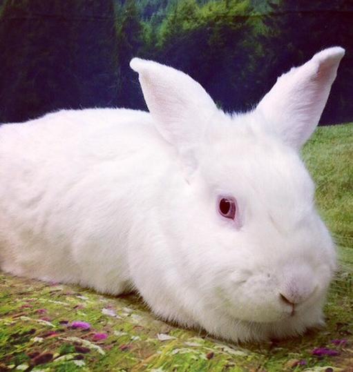 adopt_bunny