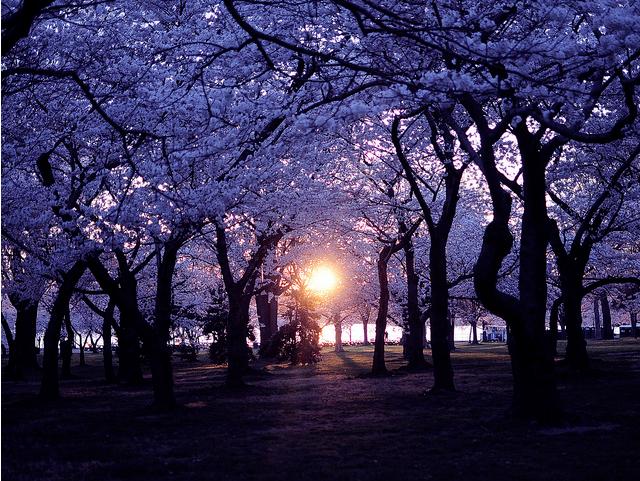 peak_cherry_blossom_bloom