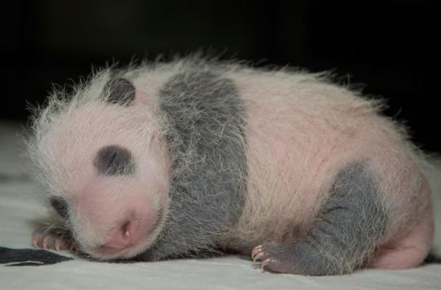 panda patrol