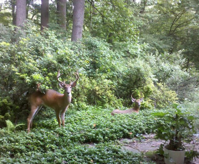 Some bucks in backyard