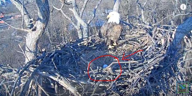 eagle egg