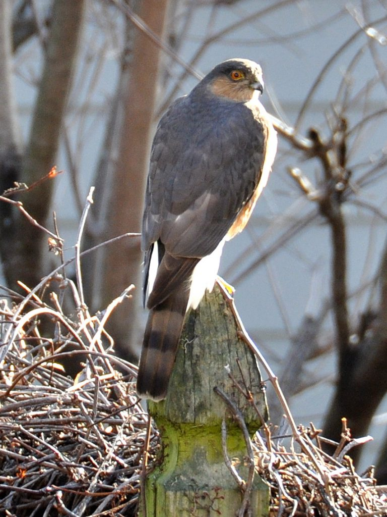 hawk brookland popville