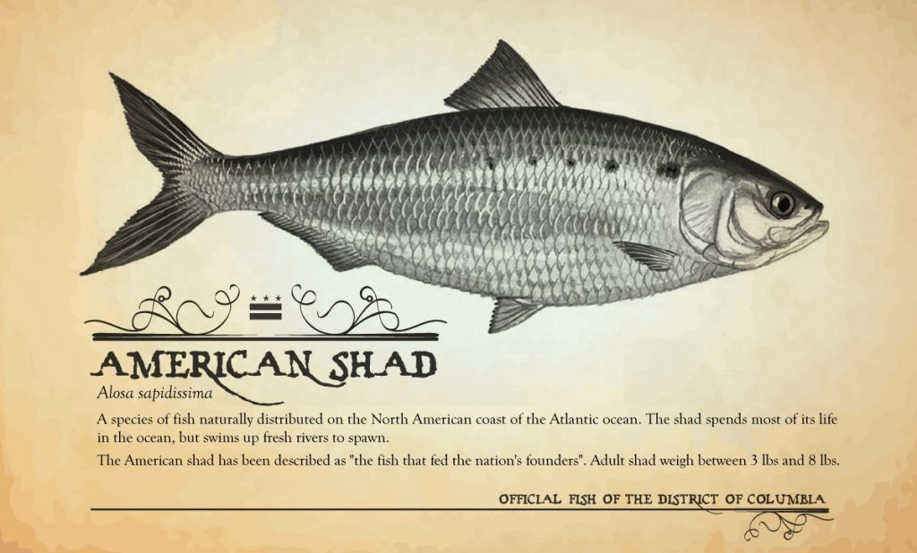 The american shad and the hay 39 s spring amphipod are for Washington dc fishing license