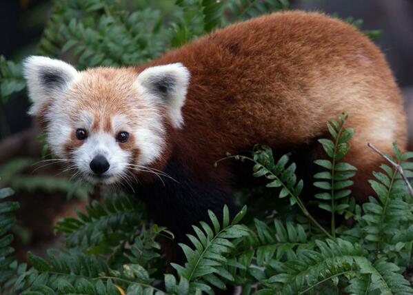 Rusty_red_panda