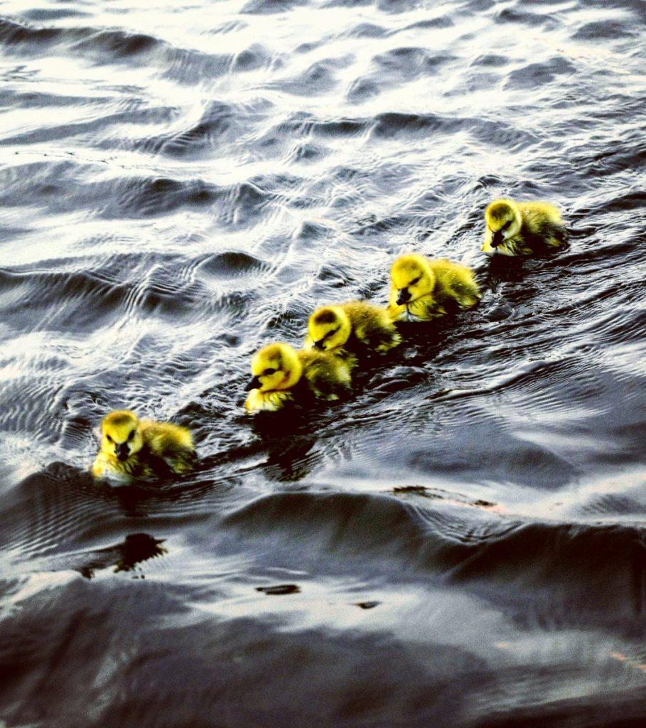 ducklngs